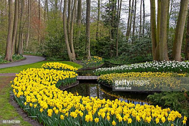 daffodils Keukenhof 2161 AM Lisse The Netherlands Finally spring Keukenhof is full in bloom Keukenhof looks very colorful The tulips hyacinths and...