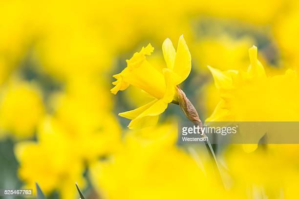 Daffodils, Narcissus pseudonarcissus
