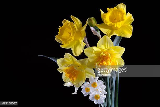 daffodils on black background - narcissus mythological character stock photos and pictures