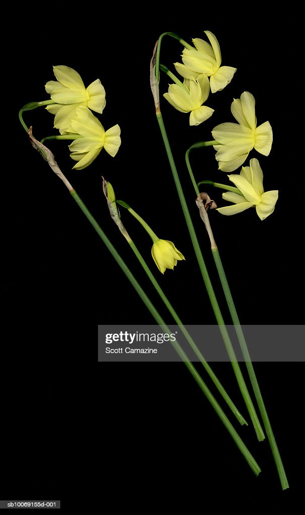 Daffodils on black background : Stockfoto