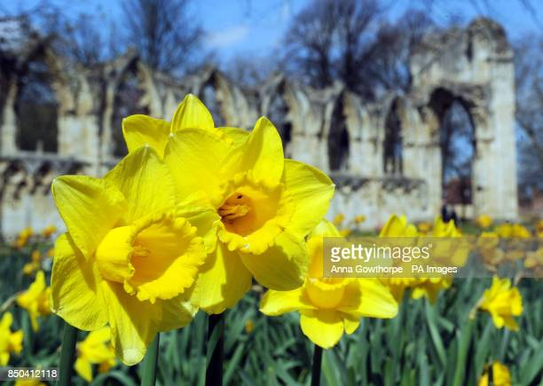 Daffodils on display in the spring sunshine next to the ruins of St Mary's Abbey in the Museum Gardens York