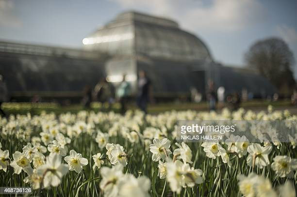 Daffodils on show at the Royal Botanic Gardens at Kew in London on April 6 2015 as England basks in higher than expected temperatures on Easter...