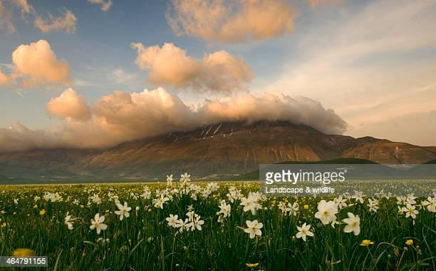 Daffodils on the Pian Grande