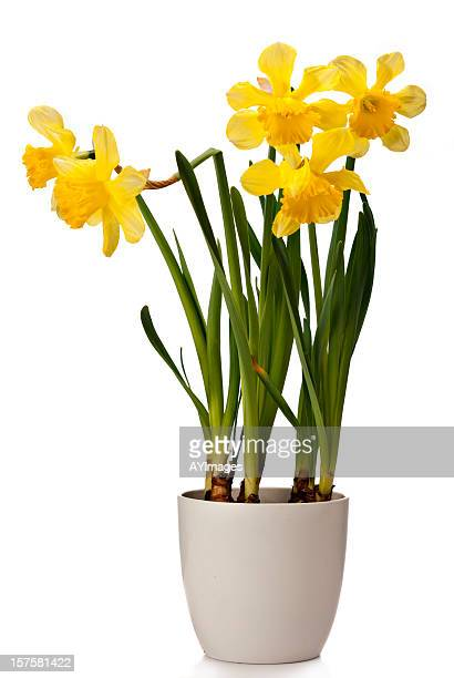daffodils on white background - daffodils stock photos and pictures