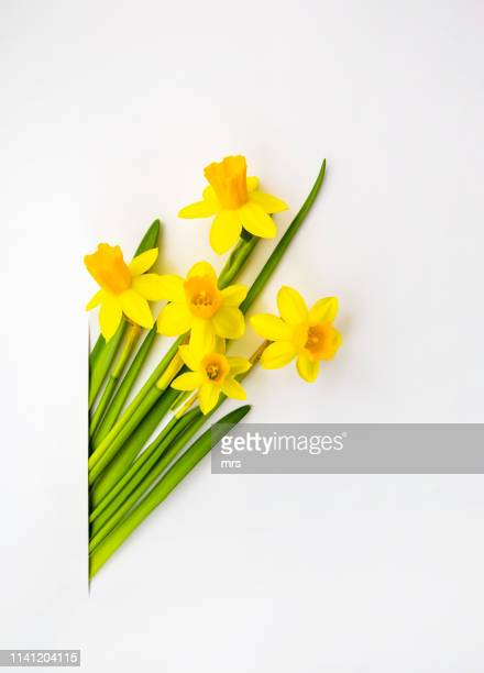 daffodils - daffodil stock pictures, royalty-free photos & images
