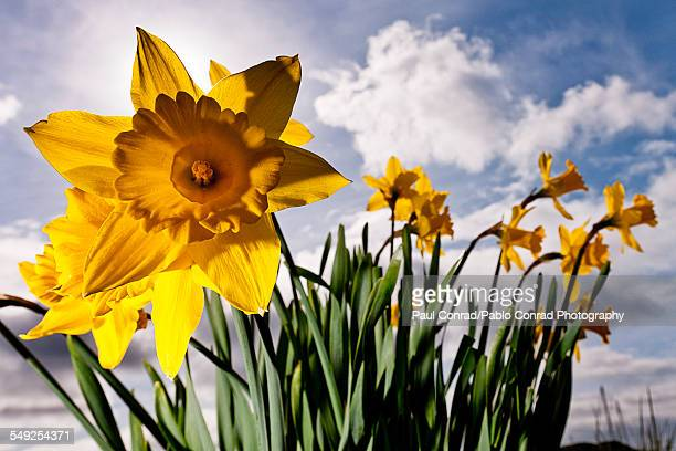 daffodils - narcissus mythological character stock photos and pictures