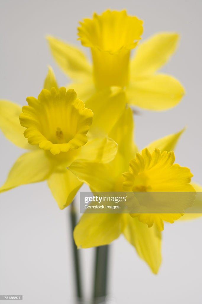 Daffodils : Stockfoto