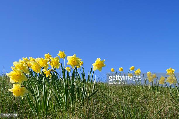 daffodils - field of daffodils stock pictures, royalty-free photos & images
