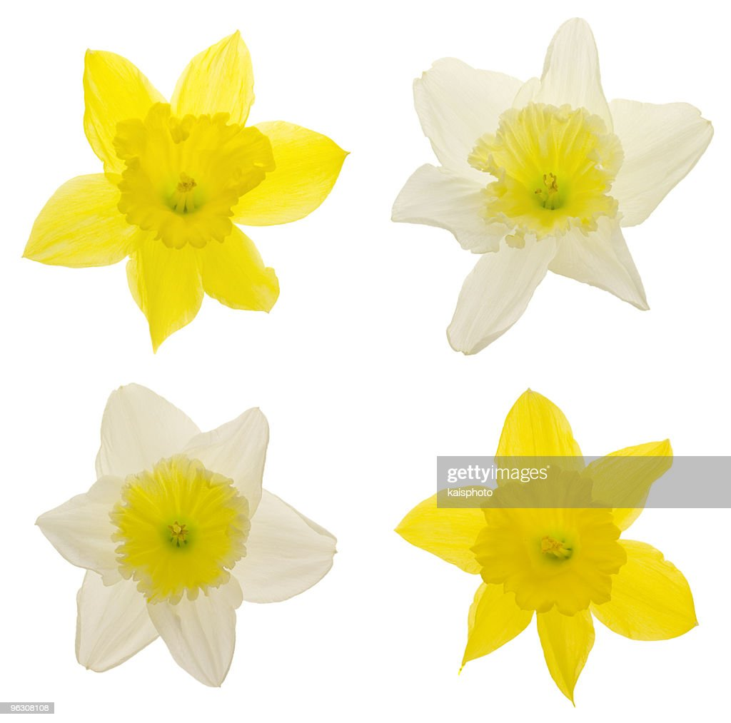 Daffodils (XXL) : Stock Photo