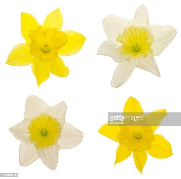 daffodils (xxl) - daffodils stock photos and pictures