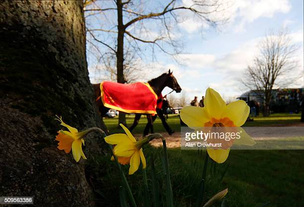 Daffodils spring up at Huntingdon racecourse on February 11 2016 in Huntingdon England