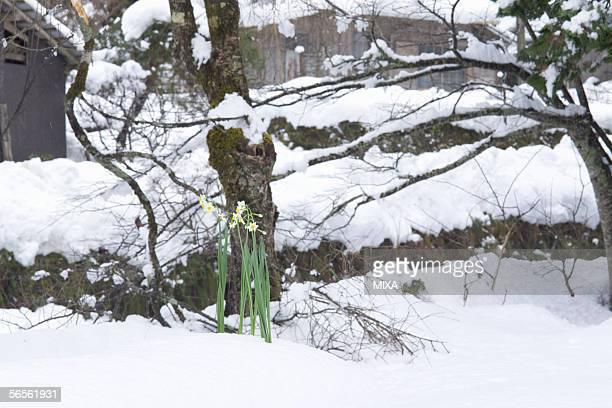 daffodils standing on snow - wabi sabi - fotografias e filmes do acervo