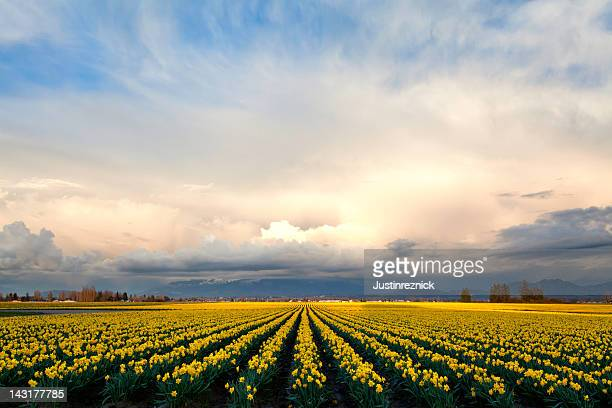 daffodils sunset skagit valley - daffodils stock photos and pictures