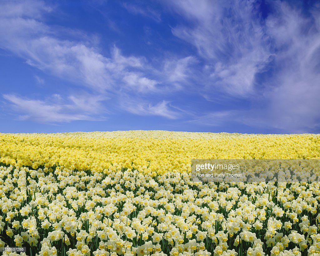 Daffodils under a Blue Sky : Stock Photo