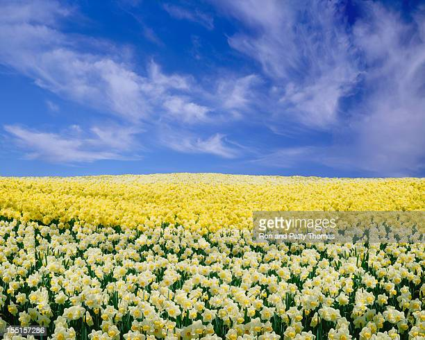 daffodils under a blue sky - field of daffodils stock pictures, royalty-free photos & images