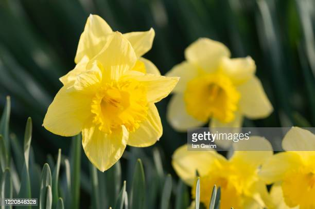 daffodils_1 - ian gwinn stock pictures, royalty-free photos & images