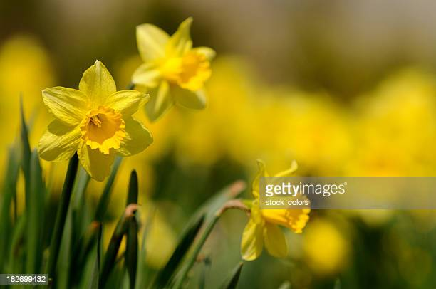 dafodill - daffodils stock photos and pictures