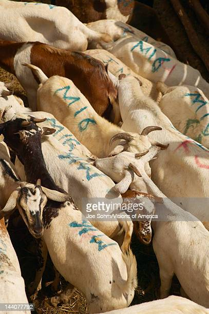 Dagoretti slaughterhouse in Nairobi Kenya Africa a holding tank for goats to be killed in slaughterhouse