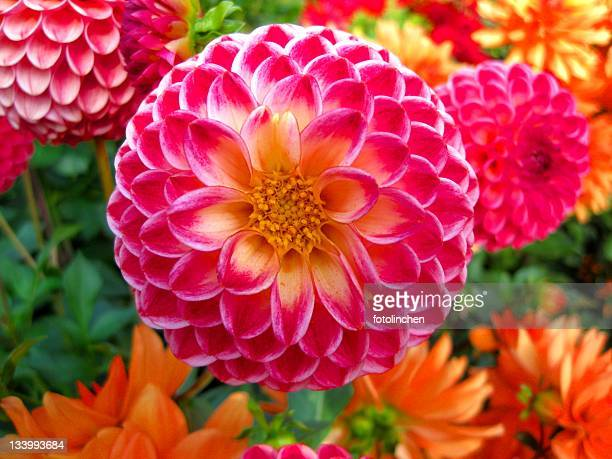dahlia background - august stock pictures, royalty-free photos & images