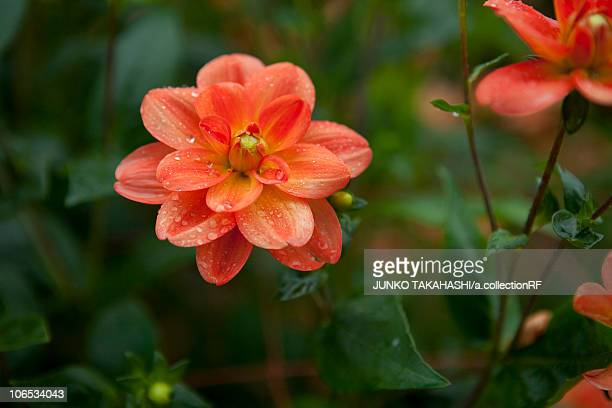 Dahlia Blooming at Kurohime Plateau
