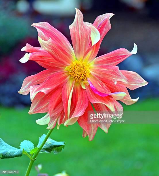 Dahlia Blossom Resembles Pinwheel