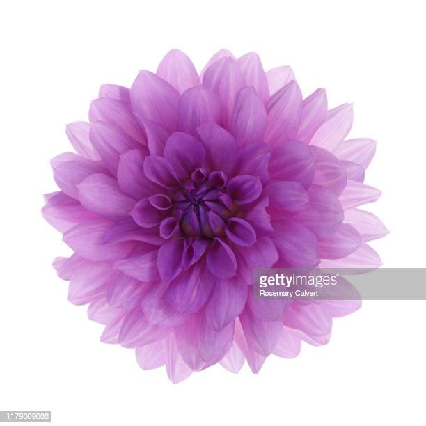 dahlia 'blue boy' flower, on white square. - flower head stock pictures, royalty-free photos & images