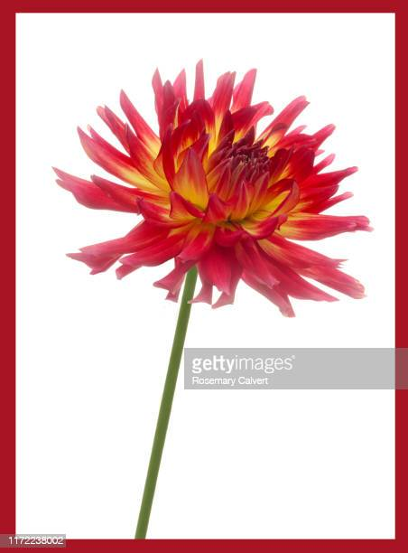dahlia 'bora bora' on white with red border. - single object stock pictures, royalty-free photos & images