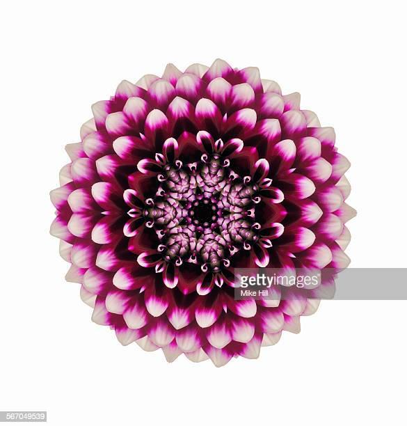 Dahlia flower mandala
