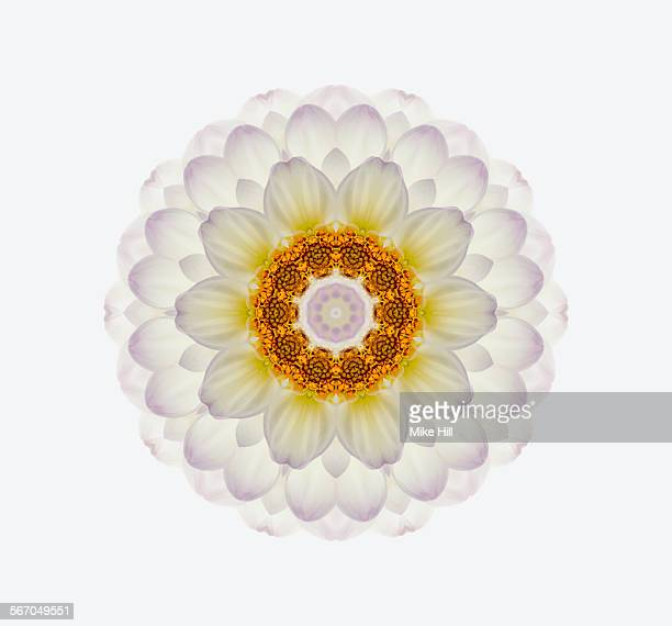 dahlia flower mandala - radial symmetry stock pictures, royalty-free photos & images