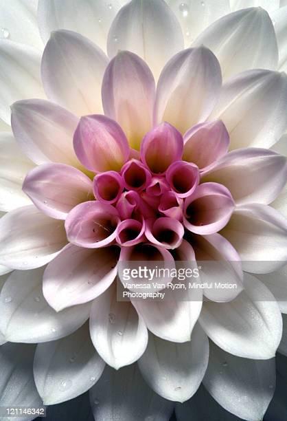 dahlia flower - vanessa van ryzin - fotografias e filmes do acervo