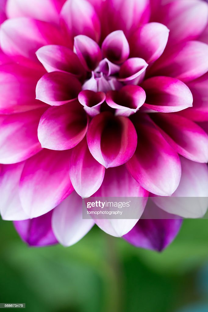 Dahlia flower : Stock Photo