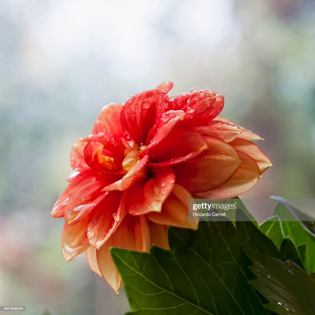 Dahlia flowers stock photo getty images dahlia flowers stock photo izmirmasajfo