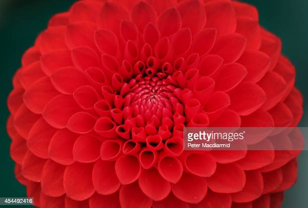 Dahlia is displayed at the Royal Horticultural Society Flower Show at Wisley Gardens on September 2, 2014 in Wisley, England. 40,000 visitors are...
