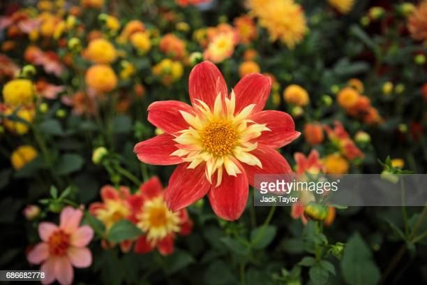 Dahlia La Gioconda on display at the Chelsea Flower Show on May 22 2017 in London England The prestigious Chelsea Flower Show held annually since...