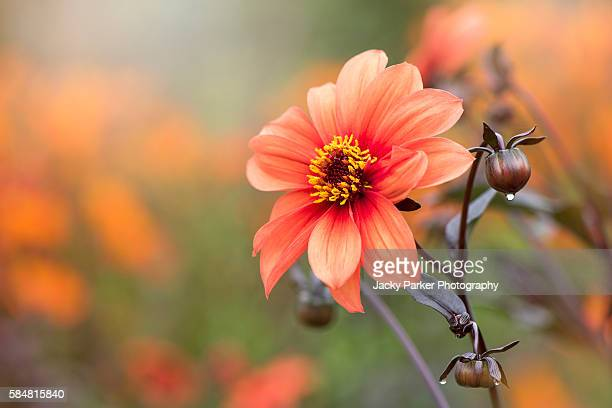 Dahlia Orange Pathfinder flower