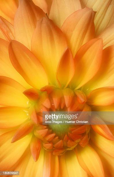 dahlia (dahlia x cultorum, dahlia variabilis) - dog tick stock pictures, royalty-free photos & images