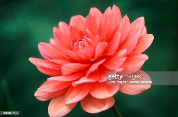 dahlia (dahlia x cultorum, dahlia variabilis) - garrapata de perro fotografías e imágenes de stock