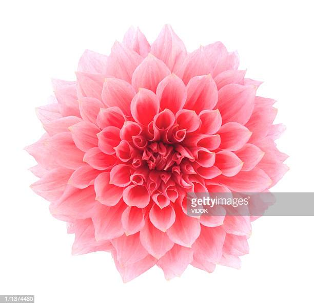 dahlia - pink flowers stock pictures, royalty-free photos & images