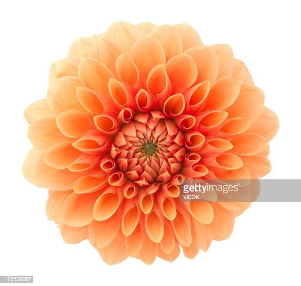 dahlia - flower head stock pictures, royalty-free photos & images