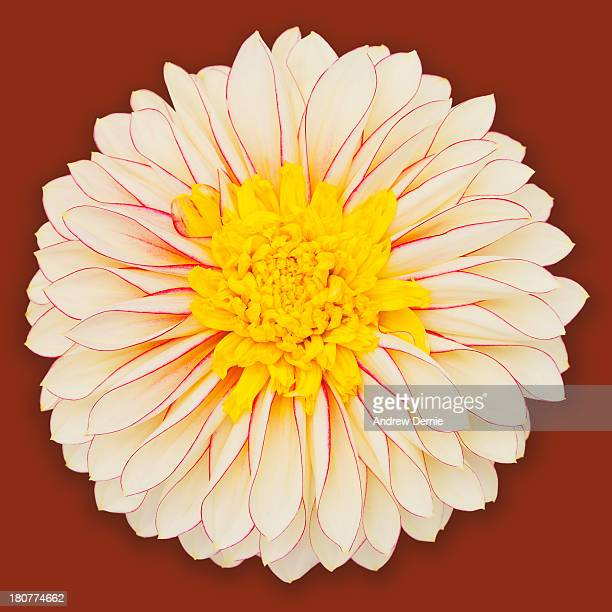 dahlia - andrew dernie stock pictures, royalty-free photos & images