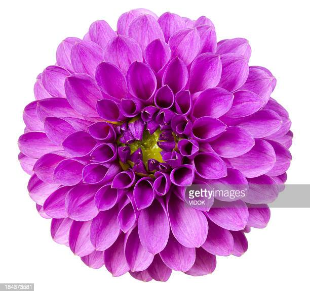 dahlia - lilac stock photos and pictures