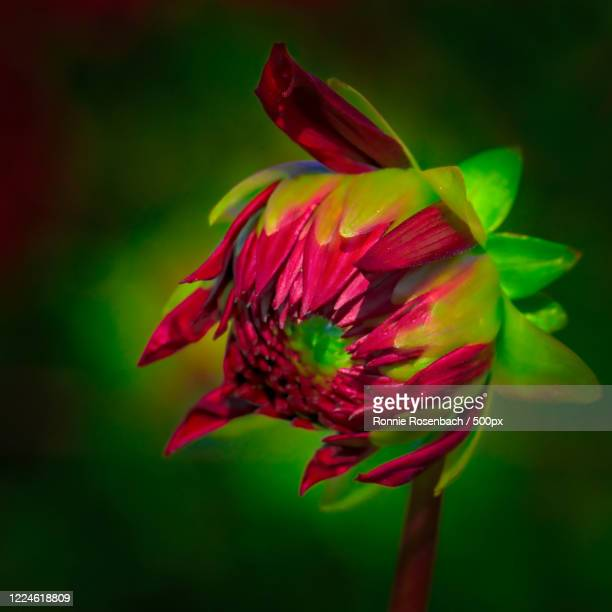 dahlia red flower bud, petaluma, usa - petaluma stock pictures, royalty-free photos & images