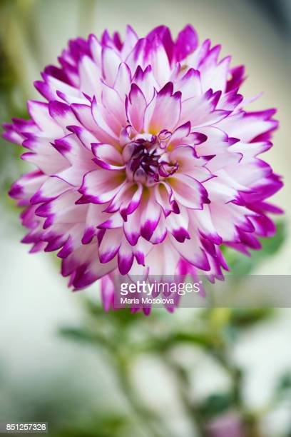 """dahlia 'who done it"""" flower close-up - who stock pictures, royalty-free photos & images"""