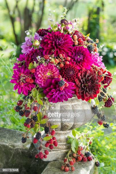Dahlias (Dalia hybrids), color gradation bordeaux and pink, bound in an amphora of stone, with blackberries (Rubus fruticosus), Germany