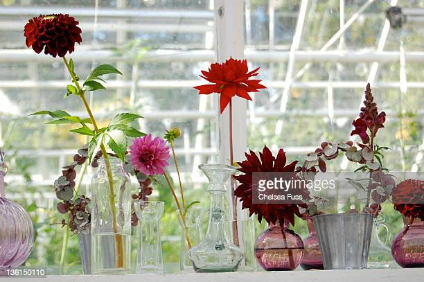 Dahlias in greenhouse