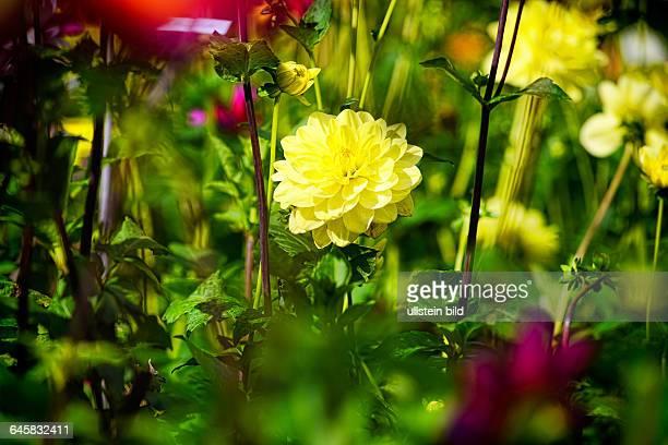 Dahlie Dahlienblüte
