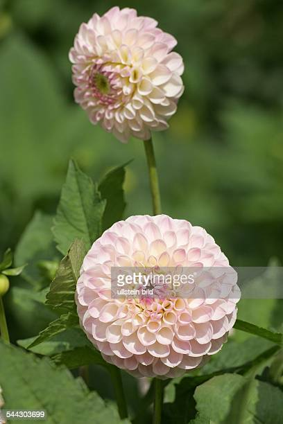 Dahlie PomponDahlie Sorte Blossom