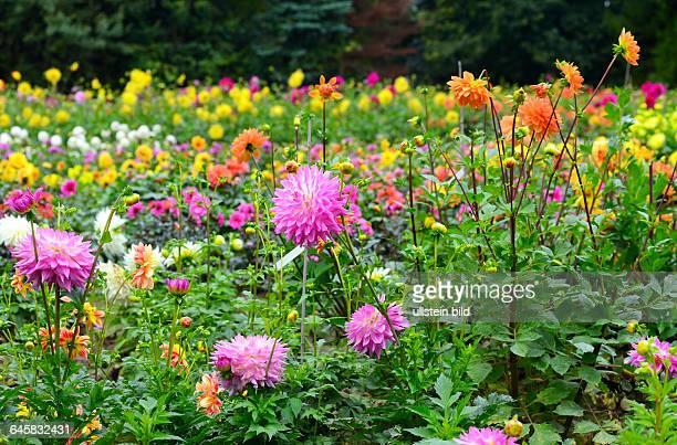 Dahlien Dahlienblüte