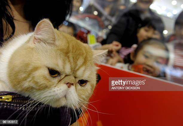 Daidai an exotic short hair cat is held by its owner as children look on during the 2010 UFO 'Year of the Tiger' Champion Cat Show in Hong Kong on...