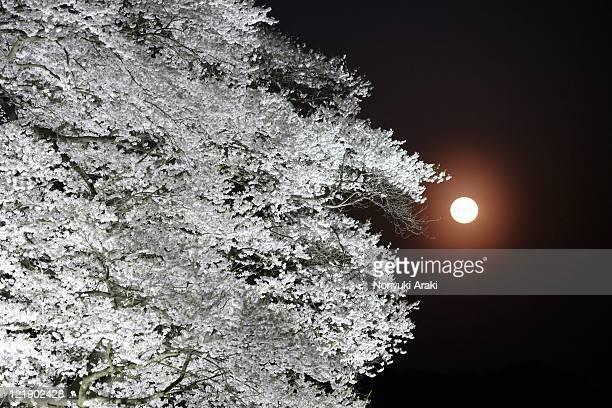 Daigo cherry,old tree and moon